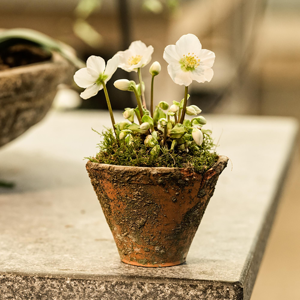 Christmas Rose in a Rustic Pot