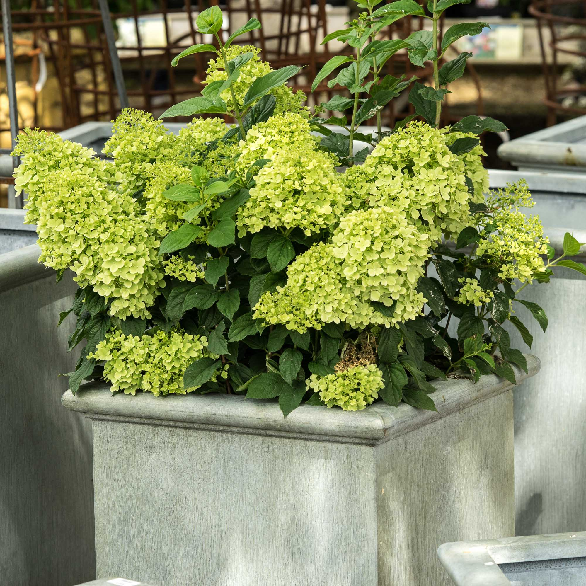 planter hortensia gallery of hortensia plante with. Black Bedroom Furniture Sets. Home Design Ideas