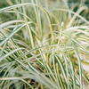 Carex oshimensis Evergold AGM