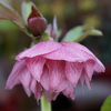 Helleborus x hybridus Harvington Double Pink