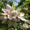 Malus domestica (Apple) Bramley blossom