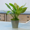 Aglaonema (pot not included)