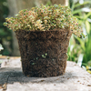 Thyme Doone Valley in a Hairy Pot