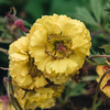 Geum Can Can (older flower)