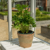 Lupinus West Country Desert Sun (terracotta pot not included)