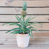 Pineapple Plant (Ananas comosus Pacifico) [pot not included]
