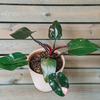 Philodendron Pink Princess (pot not included)