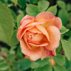 Rosa Lady of Shalott® (Ausnyson)