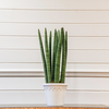 Sansevieria Cylindrica (pot sold separately)