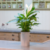 Spathiphyllum (pot holder not included)