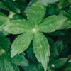 Astrantia major Venice leaf