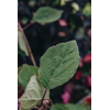 Hydrangea arborescens Ruby Annabelle (detail of foliage)
