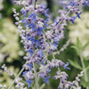 Perovskia atriplicifolia Lacey Blue (detail of flowers)