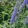Veronica Moody Blues Sky Blue,veronica,blue spike speedwell,blue veronica,long flowering perennial,flowers for cutting,cottage garden,blue herbaceous perennial,easy blue perennial,container plant,rabbit and deer resistant perennial,pollinator friendly