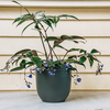 Dichorisandra pendula (pot not included)