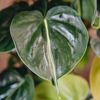 Philodendron scandens Brasil, showing golden leaves behind