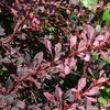 Berberis thunbergii Rose Glow