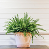 Nephrolepis exaltata Green Lady (pot not included)
