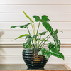 Philodendron Golden Dragon (cache pot not included)