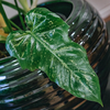 Philodendron Golden Dragon (shaped, unvariegated leaf)