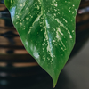 Philodendron Golden Dragon (detail of variegation)
