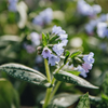 Pulmonaria offic from aboveinalis Opal