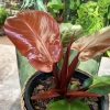 Philodendron Mc Colleys