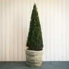 Taxus baccata Clipped Point 34/35cm