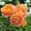 Rosa Lady of Shalott® (Ausnyson). Image courtesy of David Austin Roses