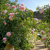 Rosa The Generous Gardener® (Ausdrawn) on the arbour at Burford