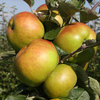 Apple Bramley