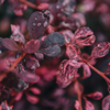 Berberis Rose Glow