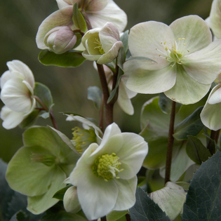 Helleborus x ericsmithii Gold Collection Shooting Star