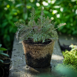 Bronze Fennel in a Hairy Pot