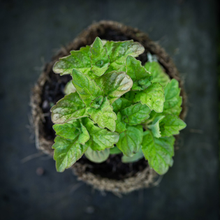 Grapefruit Mint in a Hairy Pot