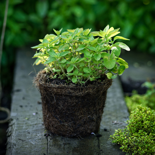 Pot Marjoram in a Hairy Pot