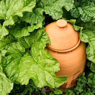 Traditional Terracotta Rhubarb Forcer (design may vary)