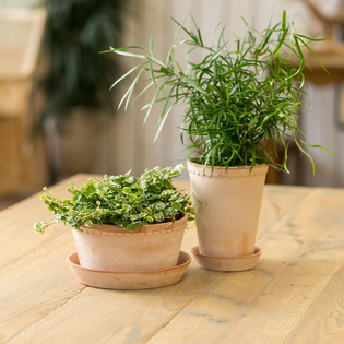 Rosa Helena Pots - Set of 3 (Saucers not included)