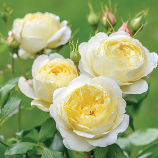 Rosa Vanessa Bell (Auseasel) Image courtesy of David Austin English Roses