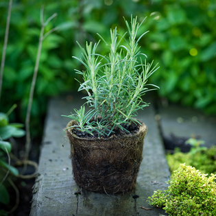 Rosemary Miss Jessop in a Hairy Pot