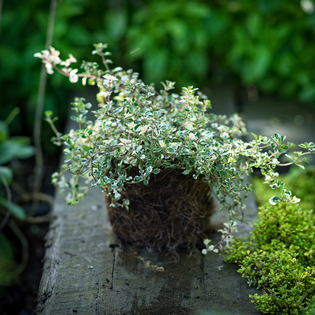Foxley Thyme in a Hairy Pot