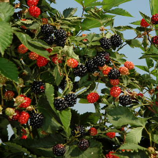 Blackberry Ouachita (Rubus Ouachita)