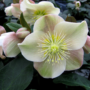 Helleborus x ballardiae Gold Collection Cinnamon Snow