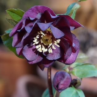 Helleborus x hybridus Double Chocolate