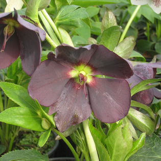 Helleborus Shades of Night