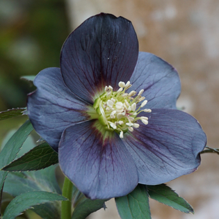 Helleborus x hybridus Smokey Blues