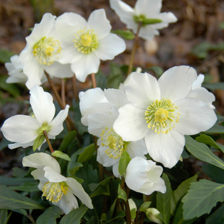 Helleborus niger Gold Collection Joel