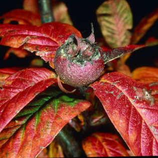 Medlar Nottingham (Mespilus germanica Nottingham) AGM