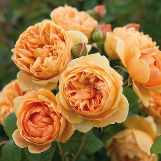 Rosa Carolyn Knight (shrub rose)(Austurner) Image courtesy of David Austin EnglishRoses