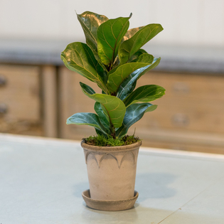 Ficus lyrata Bambino (container not included)(pot not included)